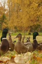 Preview iPhone wallpaper Autumn, ducks
