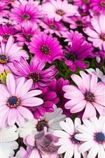 Crisântemo rosa lindo, flores de verão