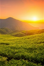 Beautiful tea garden, hills, sunrise