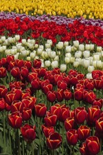 Preview iPhone wallpaper Beautiful tulips field, yellow, red, white, purple flowers