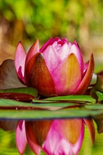Preview iPhone wallpaper Beautiful water lily, pink flowers, water, pond