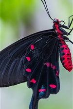 Black butterfly, wings, tree