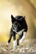 Black dog running, yellow eyes, stones