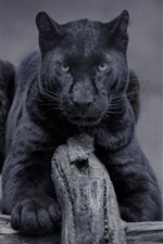 Preview iPhone wallpaper Black panther, wildlife, front view