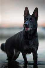 Preview iPhone wallpaper Black shepherd dog standing in water