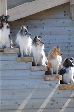 Preview iPhone wallpaper Border collie, some dogs, ladder