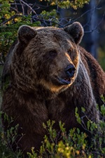 Brown bear in the forest, bushes