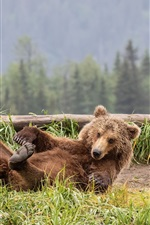 Preview iPhone wallpaper Brown bear play on the grass