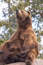 Preview iPhone wallpaper Brown bear sit on stone