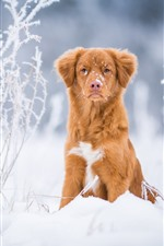 Preview iPhone wallpaper Brown color dog front view, snow, winter