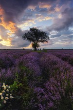 Preview iPhone wallpaper Bulgaria, lavender, chamomile, tree, clouds