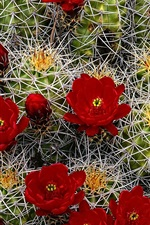 Preview iPhone wallpaper Cactus red flowers, needles