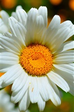 Chamomile macro photography, white petals
