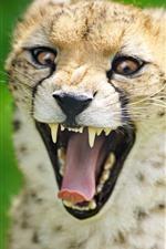 Chita, boca aberta, dentes
