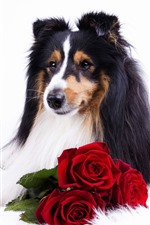 Preview iPhone wallpaper Collie, dog, red rose, white background