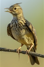 Preview iPhone wallpaper Crested lark, bird