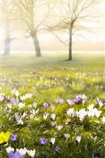 Crocuses, flowers, blossom, spring