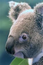 Симпатичное животное, коала