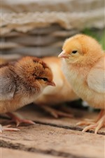 Preview iPhone wallpaper Cute chickens