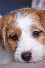 Preview iPhone wallpaper Cute puppy, white and brown
