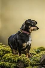 Cachorro, animal de estimação, pedras, musgo