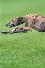 Dog running, speed, grass