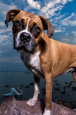 Preview iPhone wallpaper Dog, sea, ducks, boats