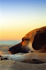 Dog sleeping, beach, sands