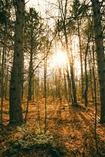 Forest, trees, autumn, sunset