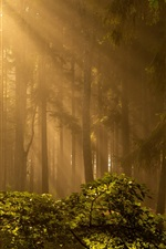 Preview iPhone wallpaper Forest, trees, sun rays, fog