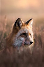 Preview iPhone wallpaper Fox hide in grass