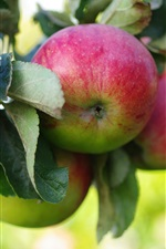 Preview iPhone wallpaper Fresh apples, apple tree