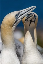 Preview iPhone wallpaper Gannets, birds
