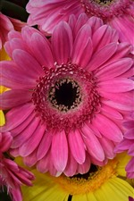 Preview iPhone wallpaper Gerbera, pink and yellow flowers