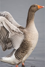 Preview iPhone wallpaper Goose, wings, water, lake