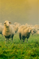 Preview iPhone wallpaper Grass, many sheep