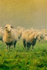 Grama, muitas ovelhas