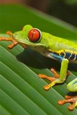 Green frog, leaf