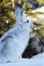 Hare, snow, winter