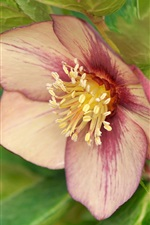 Preview iPhone wallpaper Hellebore, purple flower close-up