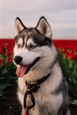 Preview iPhone wallpaper Husky dog, red tulips