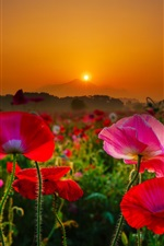 Japan, Mount Tsukuba, red and pink poppies, sunrise, morning