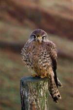 Kestrel, bird, stump