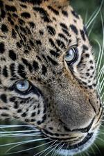 Leopard, face, eyes, whisker