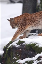 Preview iPhone wallpaper Lynx, walk, snow, winter