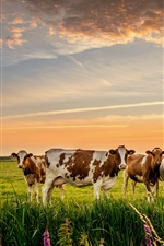Preview iPhone wallpaper Many cows, grass, meadow