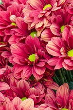 Preview iPhone wallpaper Many red chrysanthemum, flowers