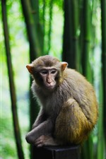 Preview iPhone wallpaper Monkey, bamboo forest