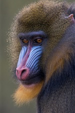 Preview iPhone wallpaper Monkey, face, wildlife, primates