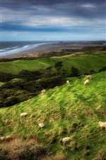 Preview iPhone wallpaper New Zealand, coast, sheep, grass, clouds